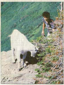 A mountain goat turns on a teenager who got too close in Glacier National Park.